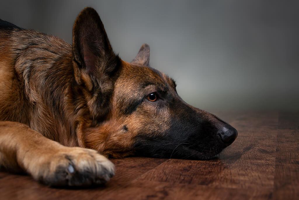 ascaridi cane